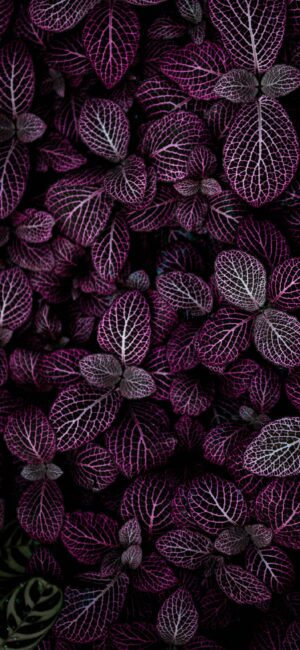 Dark Purple Leaves Wallpaper