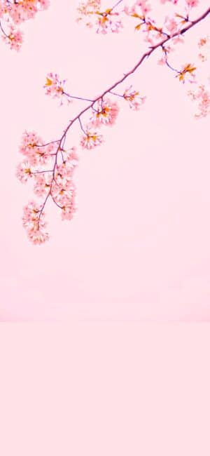 Pretty Cherry Blossom iPhone Wallpaper