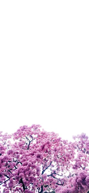 Tree Blossoms Purple Aesthetic Wallpaper